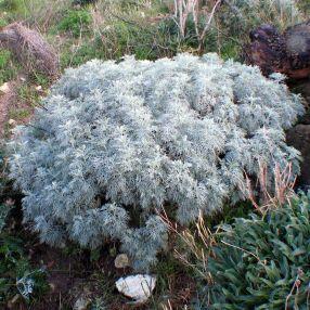 Artemisia arborescens 'Porquerolles' - Armoise arborescente