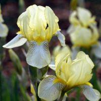 Iris variegata f. flavescens