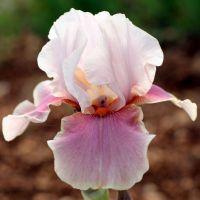 Iris 'Cameo Wine'