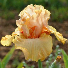 Iris 'Big Squeeze'