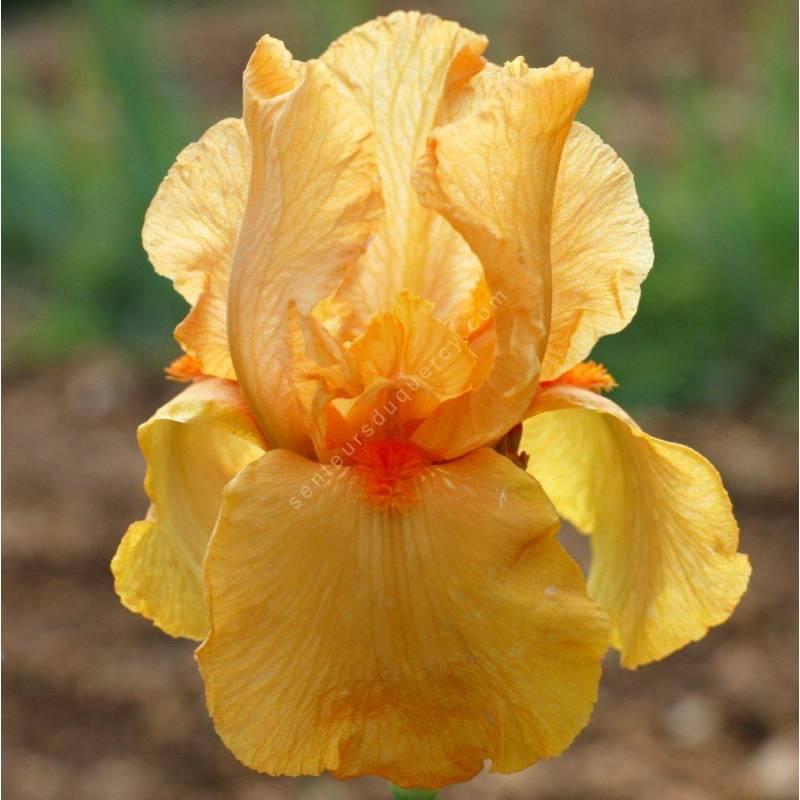 Iris 'Feu du Ciel'