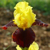 Iris 'Andalou'