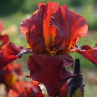 Iris 'Gallant Moment'