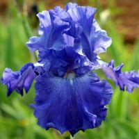 Iris 'Memphis Blues'