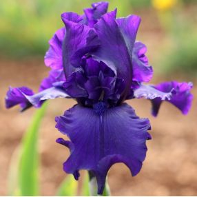 Iris 'Dusky Challenger'