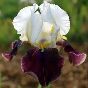 Iris 'Bold Hour'