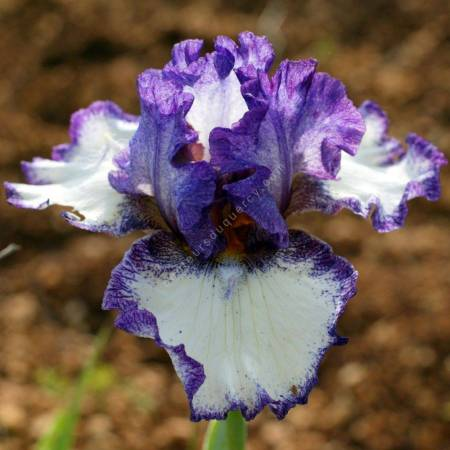 Iris 'Momentous Occasion'