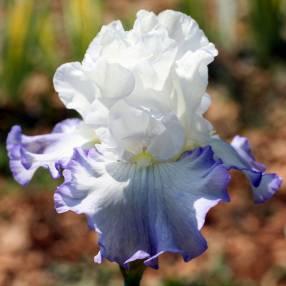Iris plein de fraîcheur: 'Azure Icicle'