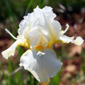 Iris 'Snow Spoon'