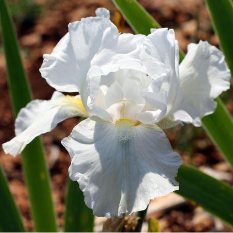 Iris 'White Reprise'