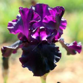Iris 'Paint It Black'