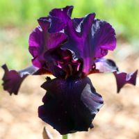 Iris 'Superstition'