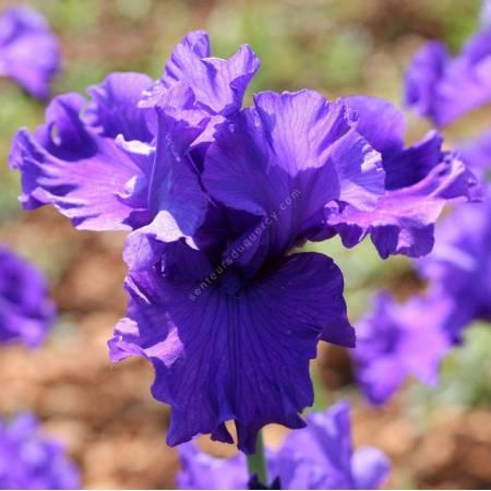 Iris 'Virginia Bauer'