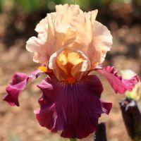 Iris 'Chinese New Year'