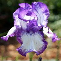 Iris 'Odyssey'
