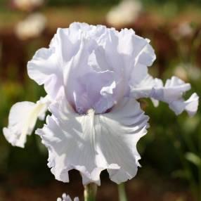 Iris 'Silverado'