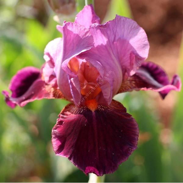 Iris 'Vin Nouveau'