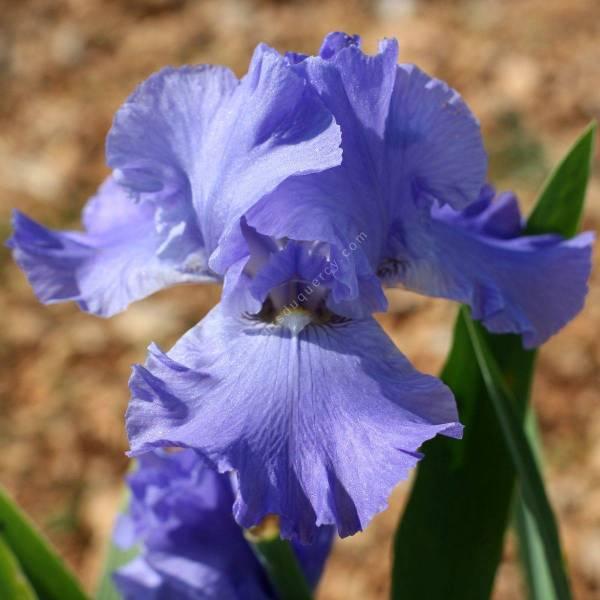 Iris 'Sapphire Hills'