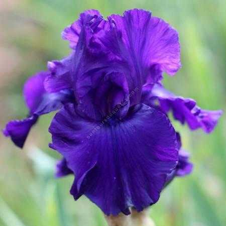 Iris 'Evening Gown'