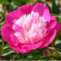 Paeonia 'Bowl Of Beauty' - Pivoine herbacée