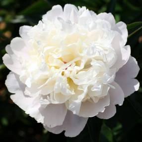 Paeonia 'Duchesse De Nemours' - Pivoine herbacée