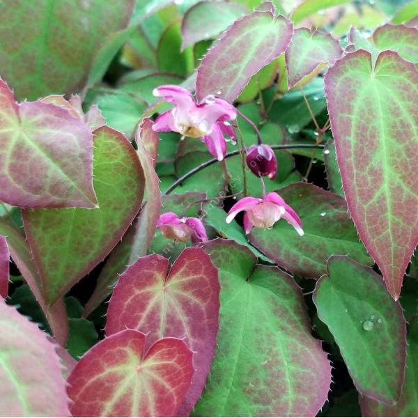 Epimedium x rubrum - Fleur des Elfes rose