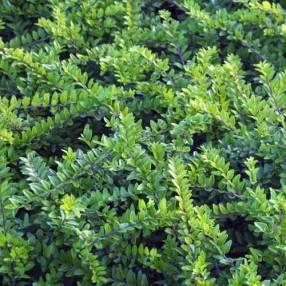 Lonicera nitida 'Maigrun' - Chèvrefeuille à feuille de buis
