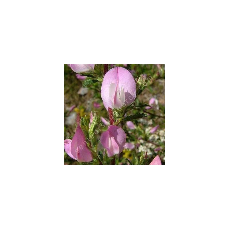 Ononis spinosa - Bugrane épineuse