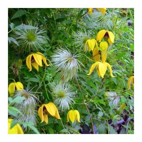 Clematis tangutica - Clématite à fleur jaune