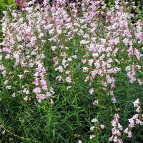 Penstemon 'Apple Blossom' - Galane à fleur rose
