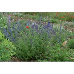Salvia amplexicaulis