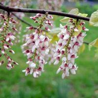 Cercis racemosa - Gainier de Chine