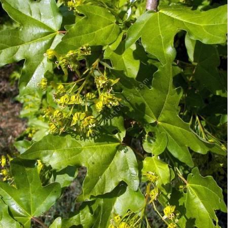 Acer campestre - Erable champêtre