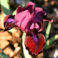 Iris 'Lollipop'