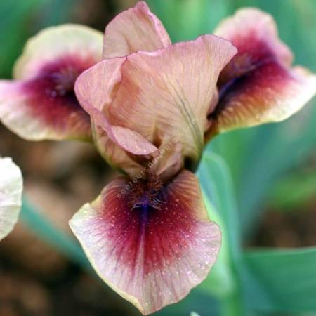 Iris 'Cimarron Rose'