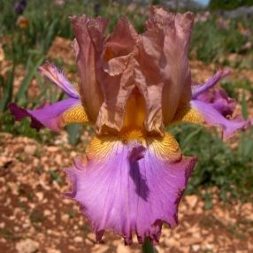 Iris 'Battle Star'