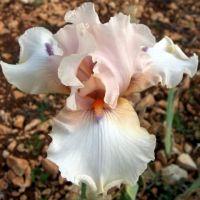 Iris 'Godsend'