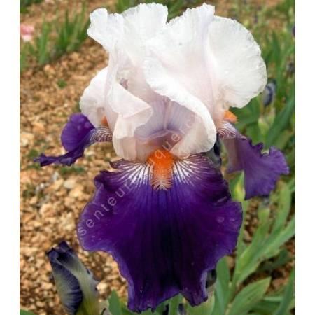 Iris 'Hortense C'