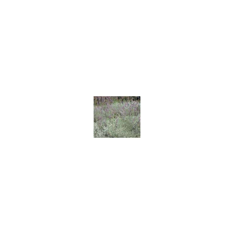 Lavandin - Lavandula x intermedia 'Dutch'