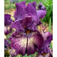 Iris 'Power Surge'