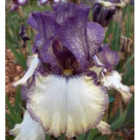 Iris 'Progressive Attitude'