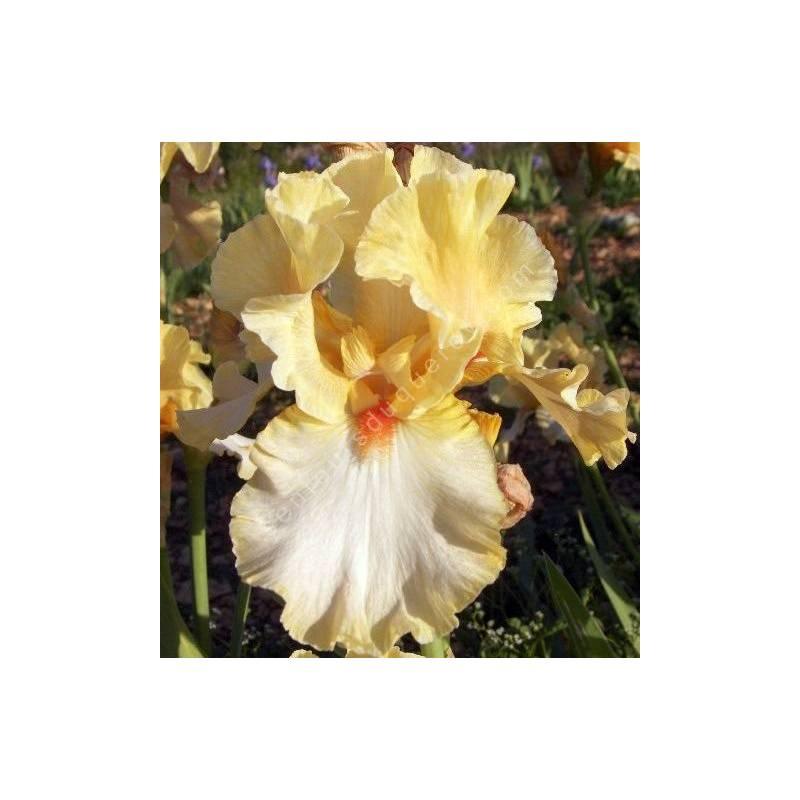 Iris 'Champagne Waltz'