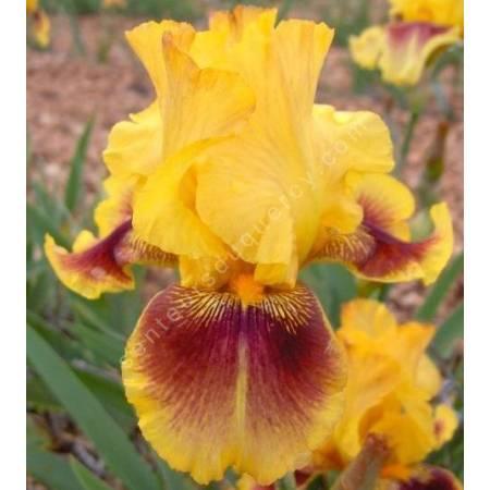 Iris 'Cerdagne'