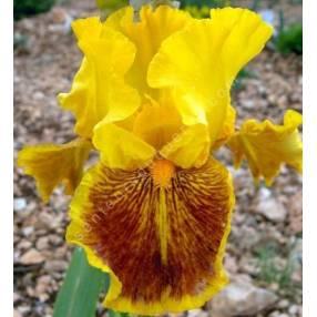 Iris 'Dazzling Gold'