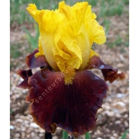 Iris 'Fiesta Time'