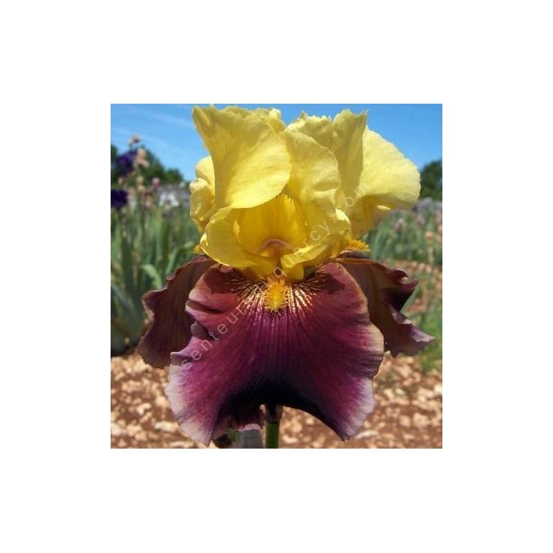 Iris 'Atys'