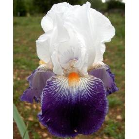 Iris 'Bal Masqué'