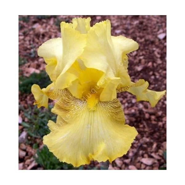 Iris 'Buckweat'