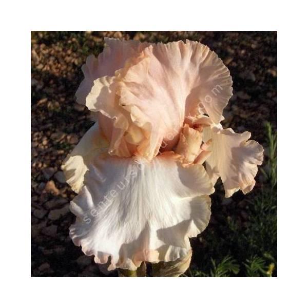 Iris 'Carmagnole'