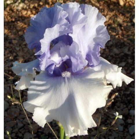 Iris 'Cascade Springs'